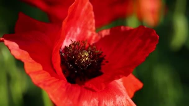 Bienen bestäuben wilde rote Mohnblumen auf der Wiese