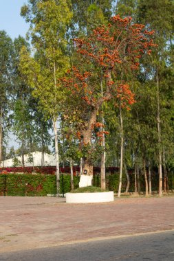 Beautiful tree with red and orange blossom in the spring and Eucalyptus trees in the background.