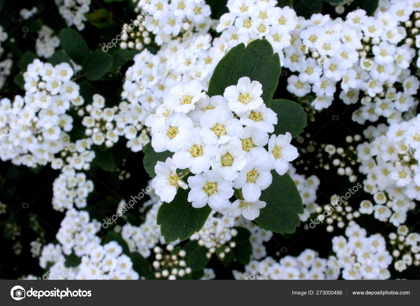 Fiori Bianchi Frutto.Blooming Bush White Little Flowers Close Spiraea Cantoniensis