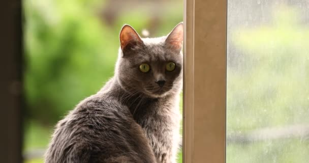 fluffy gray cat is sitting on the window