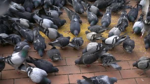 Állati madár galambok, galambok
