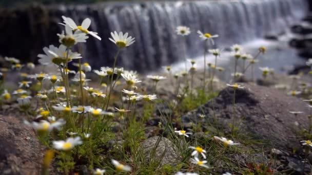 Bílá sedmikráska květ a vodopád za