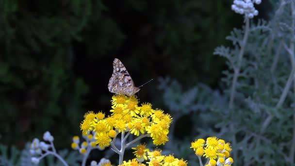 Pillangó nevű Vanessa Cardui a sárga virágok
