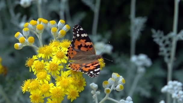 Motýl jménem Vanessa cardui na žlutých květech