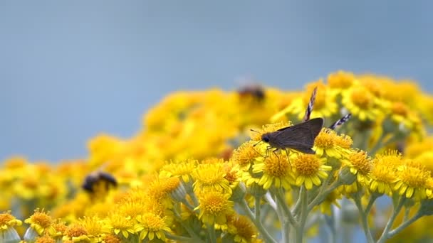 Butterfly named Vanessa Cardui on Yellow Flowers