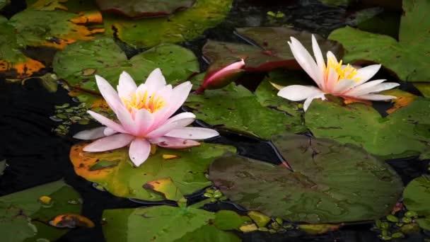 Lótusz virágok és Lily talppárnák a Lake