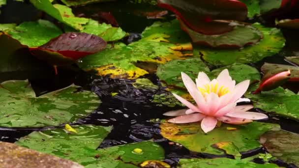 Lotus Flowers and Lily Pads in Lake