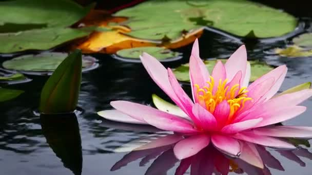 Lotus Flowersové a Lily polštářky v jezeře
