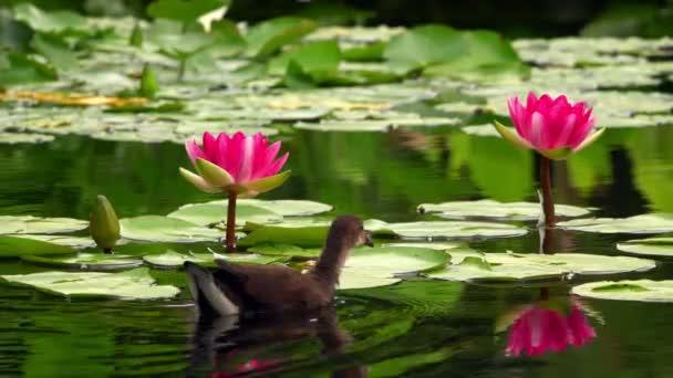 Lotosové květiny a listí na vodě a na kachně
