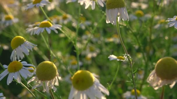 White Daisy in Nature