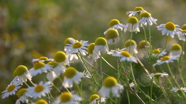 Bílá sedmikráska v přírodě