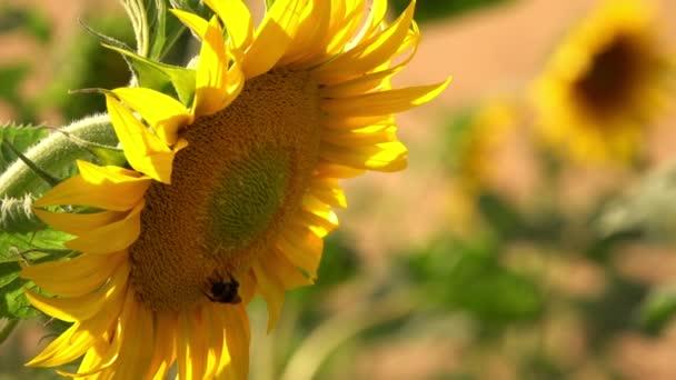 Slunečnice v přírodě