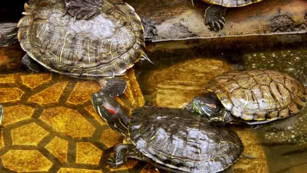 Állati hüllő Víziteknős egy vízmedencében
