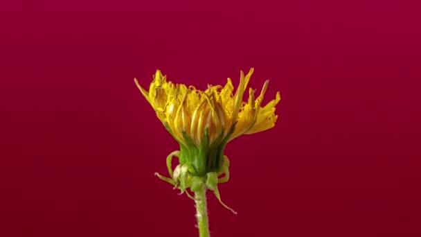 Timelapse videó egy sárga pitypang virág grwing egy színes ornametal ciklámen virág növekszik a háttérben / pitypang virágzó timelapse