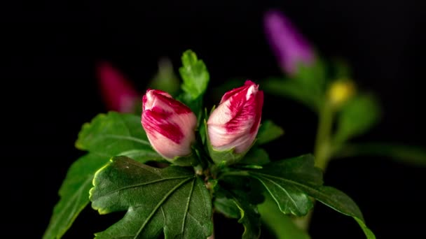 Time lapse felvételek színes hibiszkusz virágok virágzó egyszerű fekete háttér