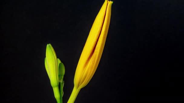 Időeltolódás felvétel sárga narancs belsejében Lily virág virágzik egyszerű fekete háttér
