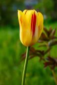 Tavaszi virágzó tulipán virágzás jelenet. Tulipánok a tavaszi virágzó kertben. Tulipán fesztivál tavasszal virágzik Szentpéterváron, Oroszországban. Tavaszi tulipán virágok virágoznak