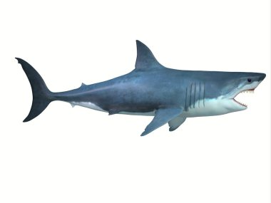 The Great White shark is a large carnivore found in all ocean environments and can live to 70 years old.