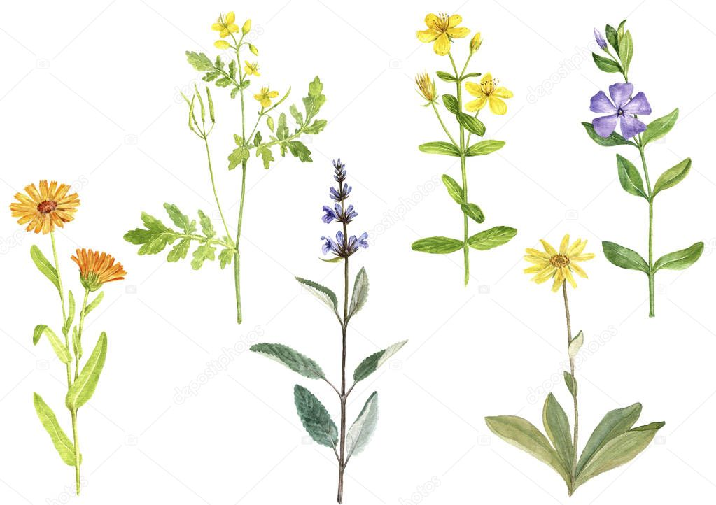 Watercolor drawing medicinal plants