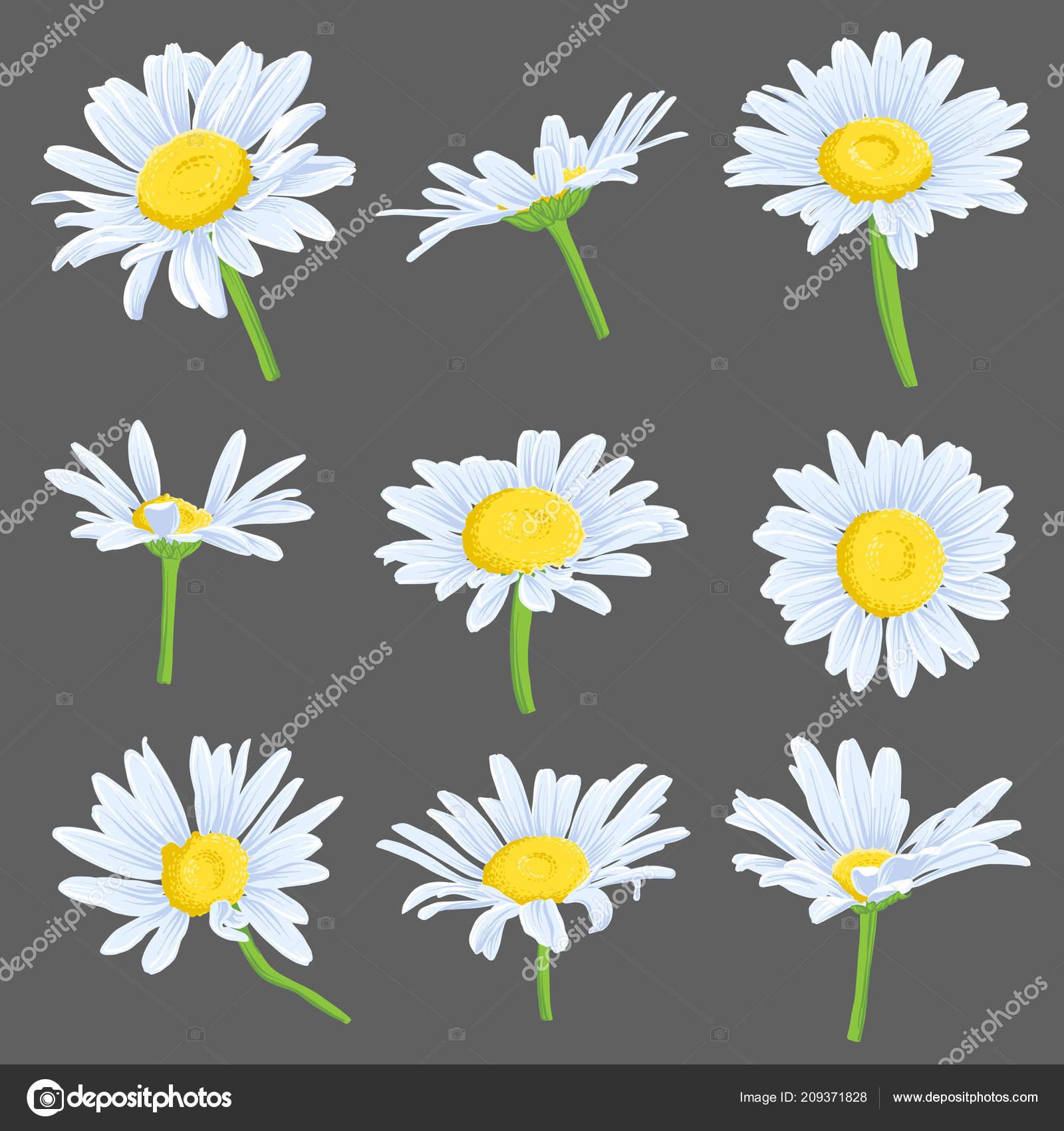 Vector Set Of Drawing Daisy Flowers Stock Vector Catarchangel