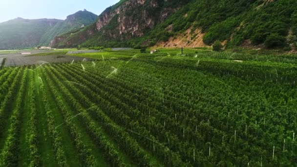Aerial Shot of Beautiful Vineyards with Grape Bushes Carefully Covered with a Net for Protection and are Irrigated with Sprinklers. Vineyards Stretch at the Root of the Mountains. Amazing Scenic View.