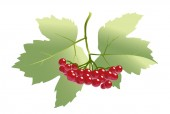 A branch of red viburnum on the background of green leaves.
