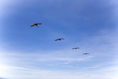 A flock of Pelicans flying against blue sky