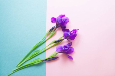 Violet iris flowers on a light pink green background with copy space. Summer holiday card.