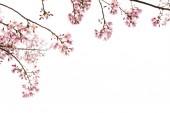 Sakura virágokat ágon fehér háttér