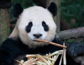 Giant panda bear, jíst bambus v Chengdu, Čína