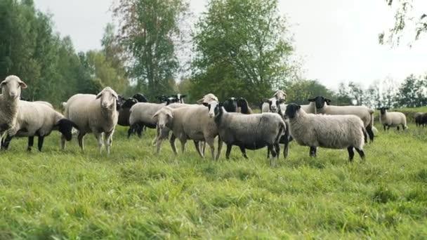 Ovce na zelených travních kopci při západu slunce