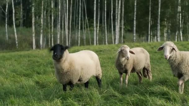 Schafe am grünen Grashang in einem Sonnenuntergang