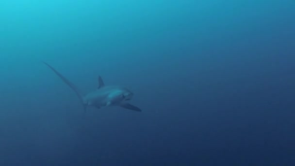 Víz alatti videó a Pelagic Thresher cápa közeledik nagyon közelről a Monad Shoal a Visayan Sea Malapascua Fülöp-szigetek