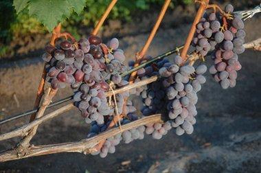 vine. ripe grape. bright colors of autumn