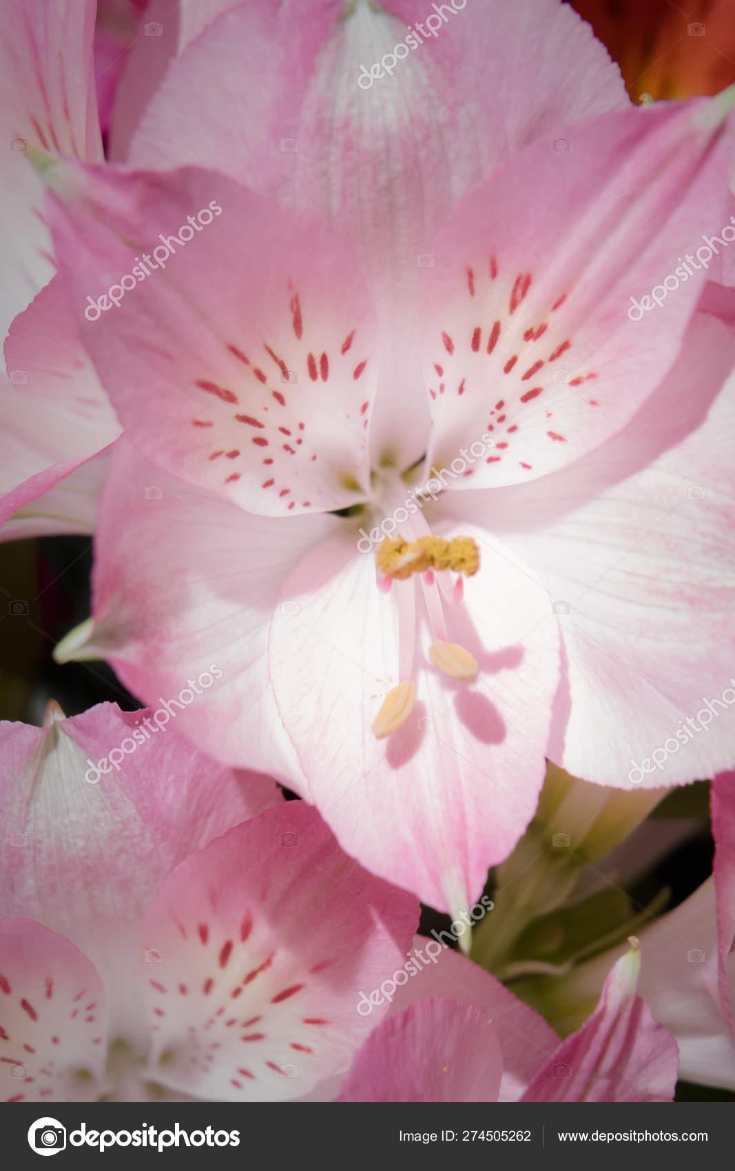Peruvian Lily Alstroemeria Flowers Stock Photo C 6505307 Gmail Com 274505262