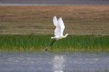 White big heron. Green blue nature habitat background. Heron: Eurasian Spoonbill. Platalea leucorodia.