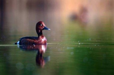 Swimming duck. Natural lake habitat background. Bird: Ferruginous Duck. Aythya nyroca.