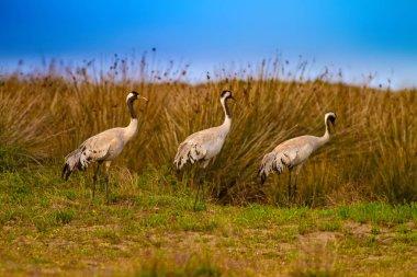 Big beautiful bird Crane. Nature habitat background. Bird: Common Crane. Grus grus.
