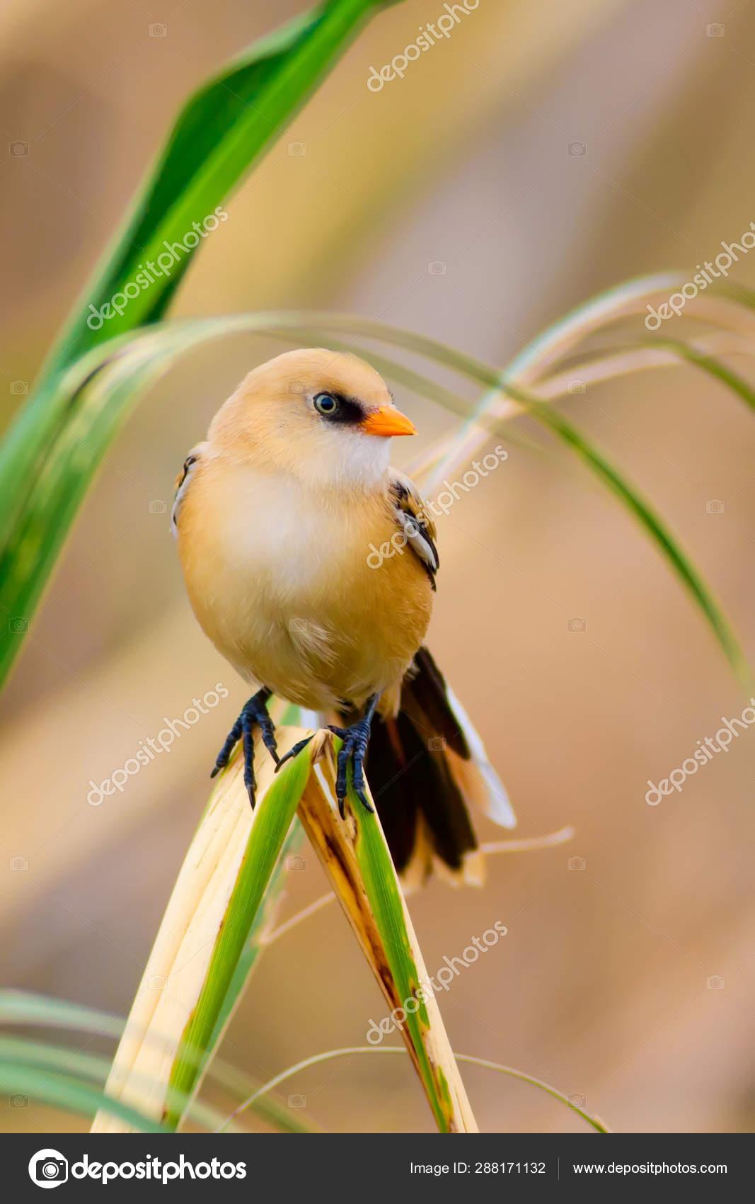 Cute Birds Black Nature Background Bearded Reedling Panurus Biarmicus Stock Photo C Mutan7 288171132