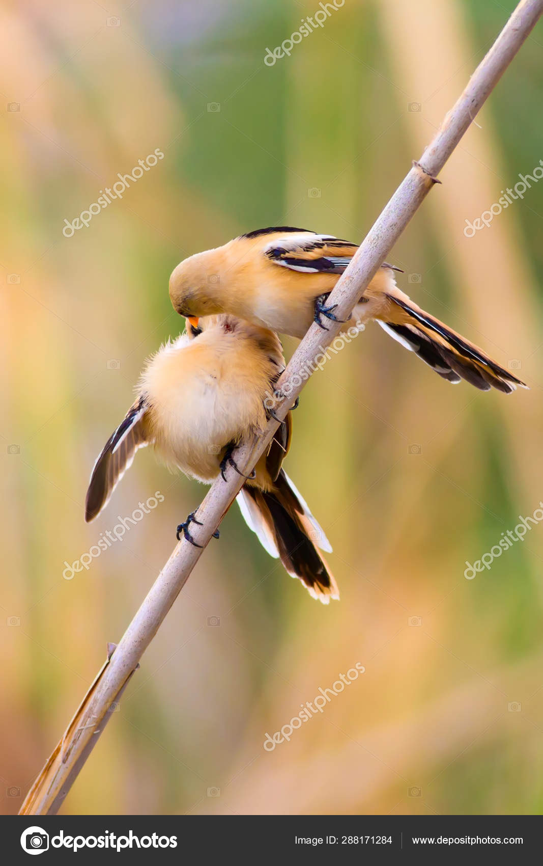 Cute Birds Black Nature Background Bearded Reedling Panurus Biarmicus Stock Photo C Mutan7 288171284