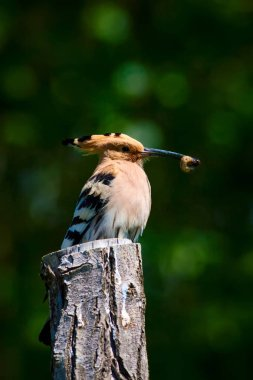 Cute bird Hoopoe. Eurasian Hoopoe. Upupa epops. Nature background.