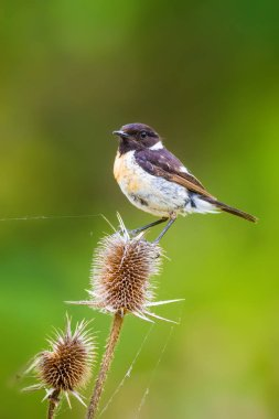 Cute little bird Stonechat. Green Nature background. Bird: European Stonechat. Saxicola rubicola.