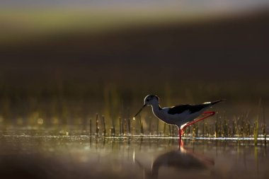 Sunset nature and bird. Sunset nature background. Common water bird
