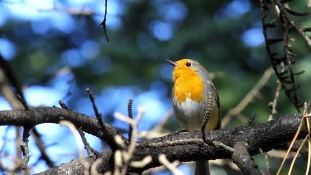 Zpívající sladký ptáček Robin. Přírodní pozadí. Pták: evropský Robin. Erithacus rubecula.