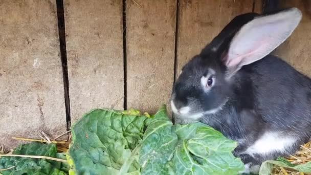 The black rabbit eats cabbage in his little house. The way the rabbit is eaten is shown.
