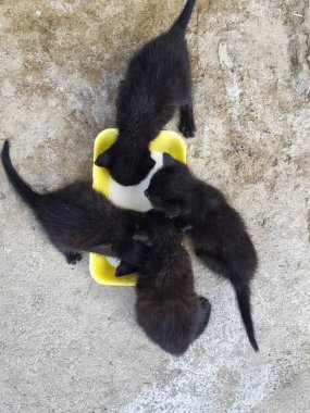 Black cats drink milk