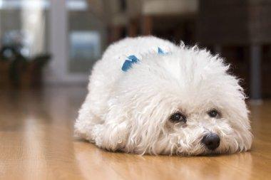 A dog Bichon frise alone at home, looking sad.