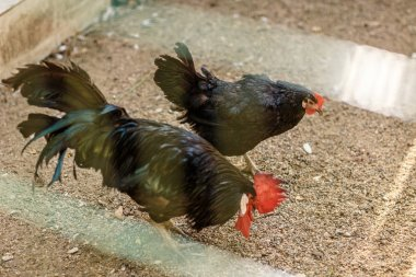 Two black cocks rushing along dry ground