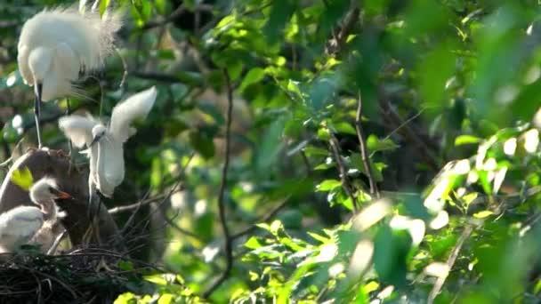 Lassú mozgás fehér madár Egretta Garzetta gyönyörű naplemente fény, kis egret vigyázni a fészket és a fiókák a fa a tó Forest Park Taipei, fővárosa Taiwan-Dan