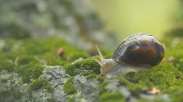 snail sticks out the antennae from the house shell no longer afraid, the slug on the green moss in the garden,concept wildlife and nature,reflexive behavior
